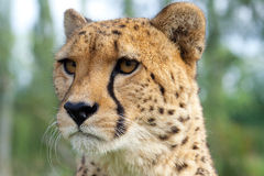 Cheetah Head Portrait. A Cheetah headshot at WHF in Kent stock image