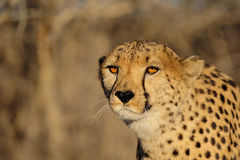 Cheetah head portrait. Aciononyx jubatus, namibia Stock Photos