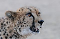 Cheetah head portrait with fly. Namibia Royalty Free Stock Image