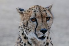 Cheetah head portrait, namibia. Acinonyx jubatus Royalty Free Stock Photo
