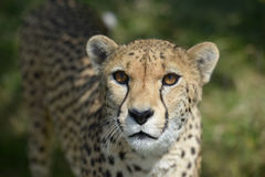 Cheetah Head shot. A head shot of a female Cheetah Royalty Free Stock Images