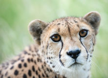 Cheetah Head shot. A Head shot of a female cheetah with eyes adapted for night and day hunting Royalty Free Stock Images