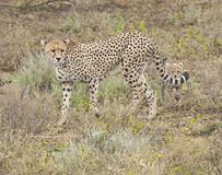 Cheetah and her cub Royalty Free Stock Images