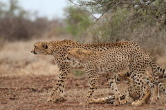 Cheetah and her 2 cubs are alerted to something in the distance in Kruger National Park. Cheetah (Acinonynx jubatus) and her 2 cubs are alerted to something in Royalty Free Stock Image