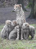 Cheetah with her cubs Stock Image