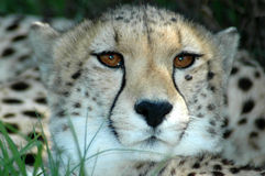Cheetah hiding. A beautiful African Cheetah head portrait with alert expression in the face hiding in the bushes and watching other wild animals in a game Stock Photography