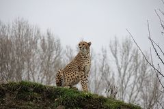 Cheetah on the hill. stock images