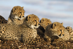 Cheetah hudle Royalty Free Stock Photo