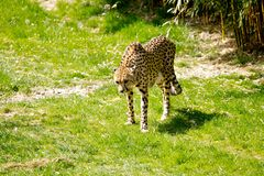 Cheetah hungry for meat royalty free stock photos