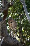 Cheetah Hunt. Female cheetah in tree ready to pounce on her prey. Photograph taken at Phinda game reserve in South Africa on July 27th 2008 Stock Image