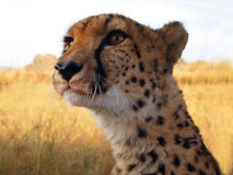Cheetah after the hunt Stock Image