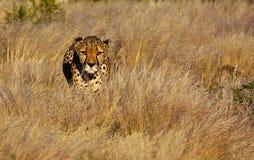 Cheetah Hunting. Cheetah on the hunt - Acinonyx jubatus stock image
