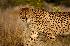 Cheetah Hunting Royalty Free Stock Photos