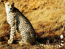 Cheetah Hunting Stock Image