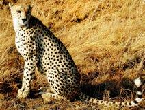 Cheetah Hunting Stock Image