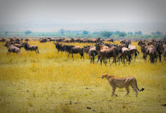 Free Cheetah Hunting Royalty Free Stock Images - 6688649
