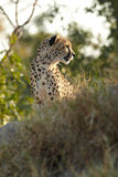 Cheetah hunting Stock Photography