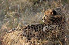 Cheetah hunting Stock Images