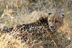 Cheetah hunting Royalty Free Stock Photography