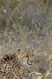 Cheetah hunting Royalty Free Stock Images