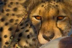 Cheetah is hunting. In savannah in namibia royalty free stock photo