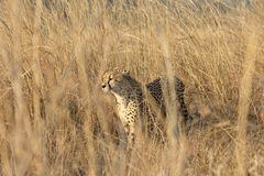 Cheetah Hunting. This Cheetahs was viewed in the Kruger national Park in South Africa. From his stalking approach it was clear that he was hunting. he can be Royalty Free Stock Image