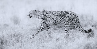 Cheetah hunting through dry grass for prey to chase Stock Photos