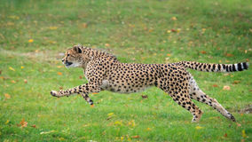 Cheetah. The cheetah is hunting for food Stock Image