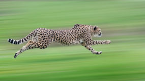 Cheetah. The cheetah is hunting for food Royalty Free Stock Photo