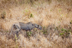 Cheetah hunting in the grass Royalty Free Stock Photos