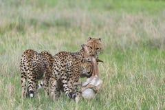 Cheetah hunting and killing Royalty Free Stock Photo