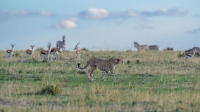 Cheetah hunting Royalty Free Stock Photo