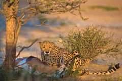 Cheetah is hunting Royalty Free Stock Photos