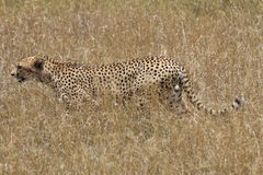 Cheetah hunting in the savannah Stock Images