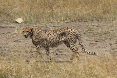 Cheetah hunting in the savannah Royalty Free Stock Images