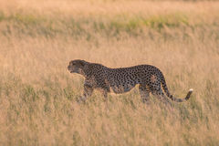 Cheetah hunting at Sunset Royalty Free Stock Image