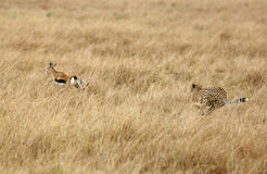 Cheetah hunting a Thomson Gazelle Royalty Free Stock Images