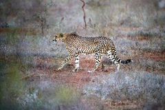 Cheetah hunting. This cheetah was seen stalking zebra in the kruger national park south africa Stock Image