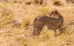 Cheetah hunting in the wild Royalty Free Stock Photography