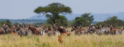 Cheetah hunts for a herd of zebras and wildebeest. Kenya. Tanzania. Africa. National Park. Serengeti. Maasai Mara. An excellent illustration royalty free stock image
