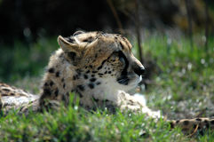 Cheetah II stock photography