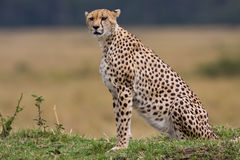 Cheetah III Stock Photo