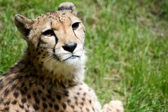 Cheetah. Image of a wild cheetah sitting on some grass royalty free stock image