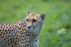 cheetah Imagem africana bonita do retrato do gato grande dos animais selvagens foto de stock royalty free