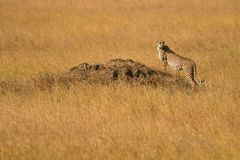 Cheetah In The Serengeti Plains Stock Photo