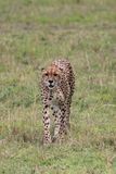 Cheetah. A cheetah is intent on a stalking in Masai Mara, taken in September Stock Images
