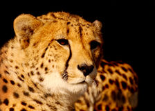 Cheetah A Royalty Free Stock Photography