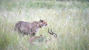 Cheetah its fresh catch, an impala stock video footage