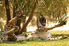 Cheetah Jaws. A Cheetah flashing his nasty teeth royalty free stock photo