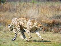 Cheetah jogging to a caress. Cheetah jogging in the Rhino and Lion nature reserve in South Africa during winter stock image